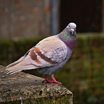 ✅VL-Turtle Doves 1kg - Mieszanka Dla Gołąbków Ozdobnych- Stonesgarden.pl®